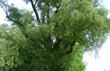 Wierzba krucha (Salix fragilis)  – drzewo rośnie przy rzece Czarna Hańcza, na przedłużeniu ul. 1 Maja.