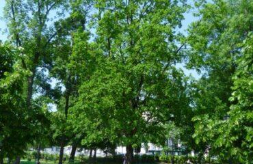 Dąb szypułkowy (Quercus robur) – drzewo rośnie w Parku Konstytucji 3 Maja, od strony kościoła św. Aleksandra.
