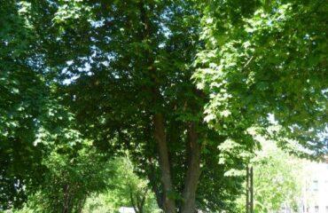 Kasztanowiec zwyczajny (Aesculus hippocastanum) – rośnie w pasie drogowym ul. Waryńskiego, ok. 27 m na południe od ul. Sejneńskiej, pomiędzy jezdnią i chodnikiem.