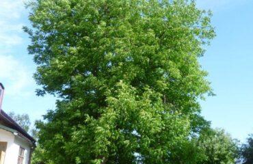 Orzech włoski (Juglans regia) – drzewo zlokalizowane na posesji przy ul. Utrata 47.