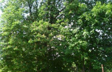 Kasztanowiec zwyczajny (Aesculus hippocastanum) – drzewo rośnie na terenie byłego browaru, przy bramie wjazdowej, przy ul. Wigierskiej 10.