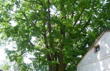 """Dąb szypułkowy (Quercus robur) – drzewo rośnie w pasie drogowym ul. Wigierskiej. Nieoficjalna nazwa """"Kameduł""""."""