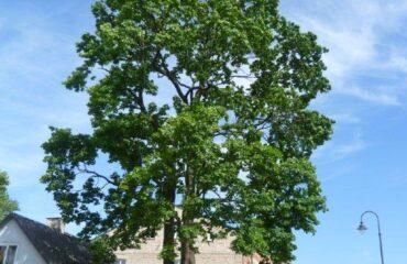 """Klon zwyczajny (Aesculus hippocastanum) – drzewo zlokalizowane na terenie posesji przy ul. Wesołej 13. Nieoficjalna nazwa """"Łukasz""""."""