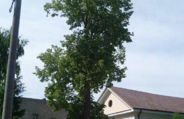 """Lipa drobnolistna  (Tilia cordata) – drzewo rośnie w pasie drogowym ul. Wigierskiej, nieopodal Kościoła Ewangelickiego. Nieoficjalna nazwa """"Ania""""."""