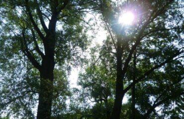 Wierzba krucha (Salix fragilis) – drzewo zlokalizowane przy ul. Bakałarzewskiej, 2 metry od mostu na rzece Czarna Hańcza.