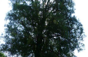Wierzba krucha (Salix fragilis ) – drzewo rośnie na północnym brzegu zalewu Arkadia, na odcinku pomiędzy kąpieliskiem a ul. Zarzecze.