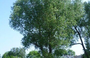 Topola niekłańska (Populus robusta) – drzewo zlokalizowane ok. 50 m na zachód od mostu na ul. Kościuszki, 8 m od rzeki.