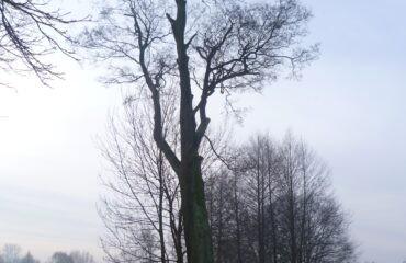 Olcha – były pomnik przyrody 001