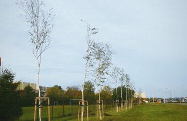 nasadzenia-drzew-jesien-2020 (3)