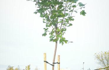 nasadzenia-drzew-jesien-2020 (7)