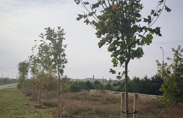 nasadzenia-drzew-jesien-2020 (9)